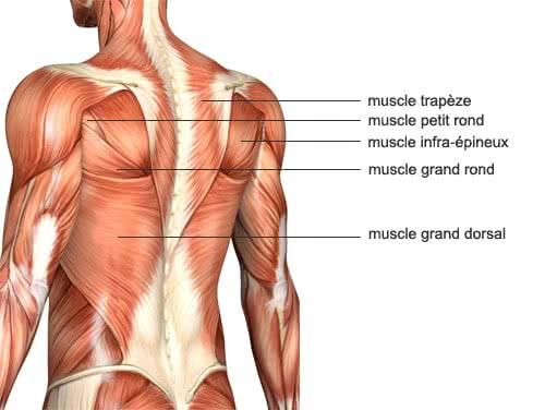 Muscle du dos du nageur